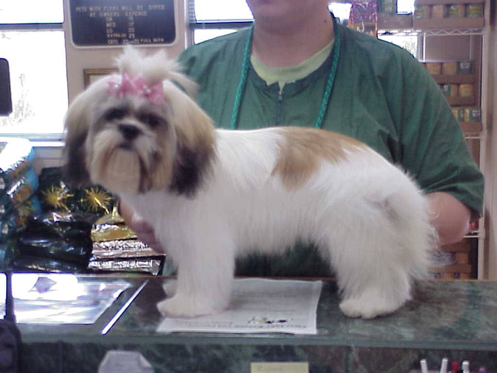 Cute Shih Tzu Haircut